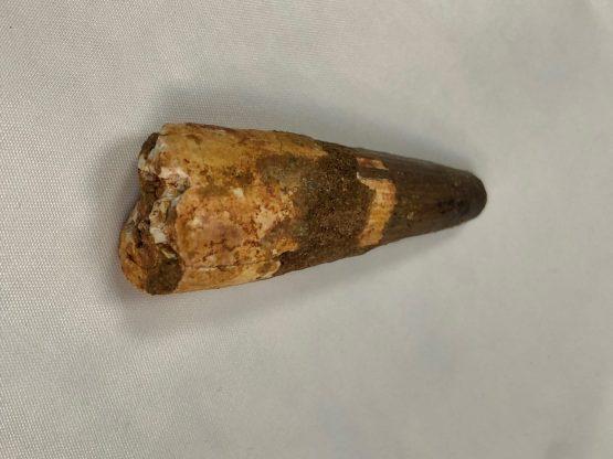 Зуб динозавра Spinosaurus aegiptiacus (Stromer, 1915)