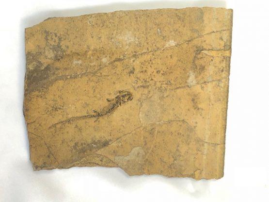 Скелет бранхиозавра (Branchiosaurus sp.) на сланце