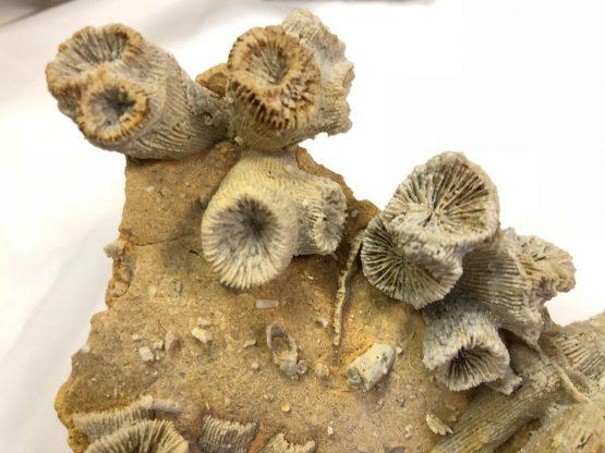 Коралл Astige Koralle Thecosmilia