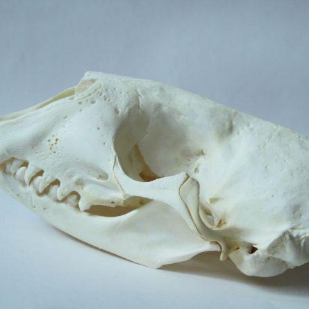 Череп нерпы тюленя