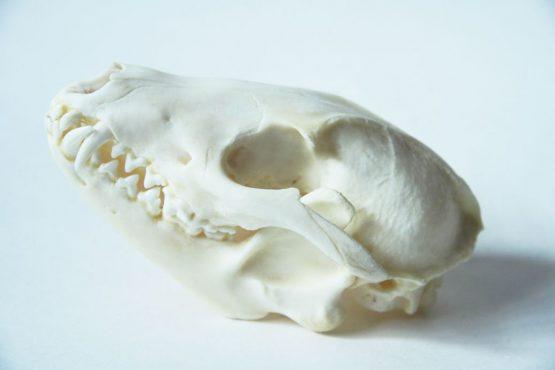 Череп тануки енотовидной собаки
