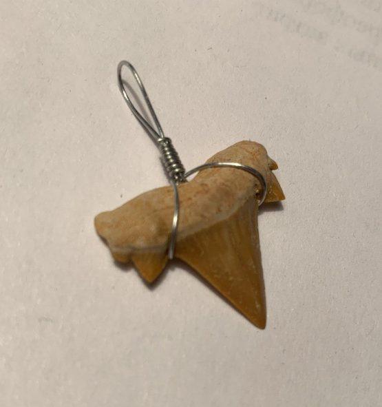 Зуб акулы Otodus obliques. Марокко 50 млн. лет.