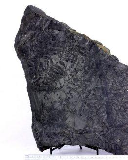 Ископаемый папоротник Mariopteris sp