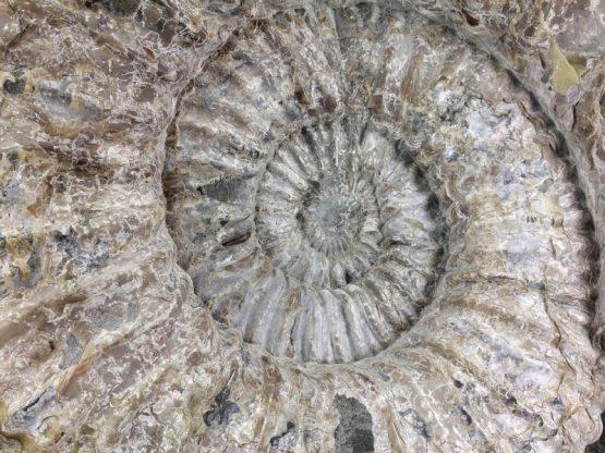 Раковина аммонита Spinocrioceras amadei