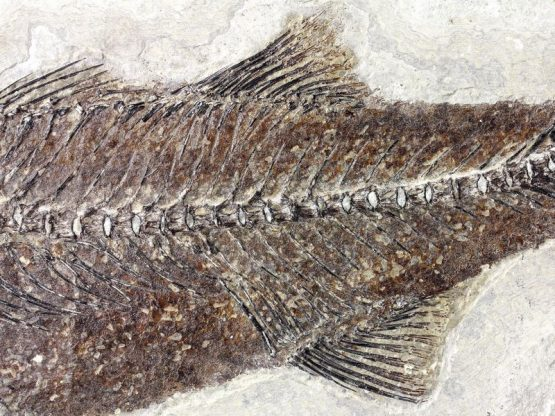 Ископаемая рыба Mioplosus Labracoides