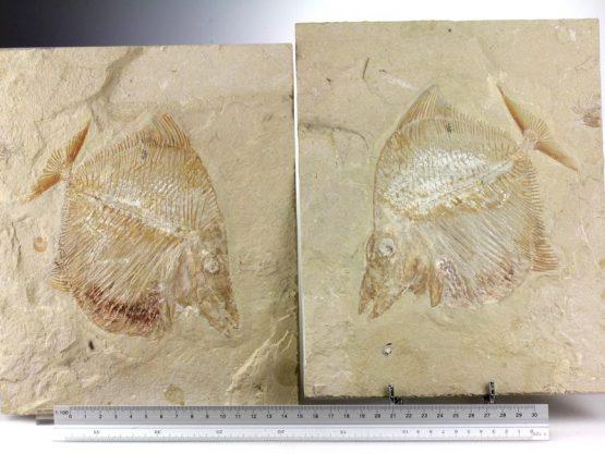 Ископаемая рыба Пикнодонт Nursallia sp