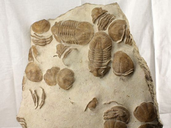 Плита с панцирями трилобитов Xenasaphus devexus