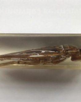 Гигантский водяной клоп Belostomatidae