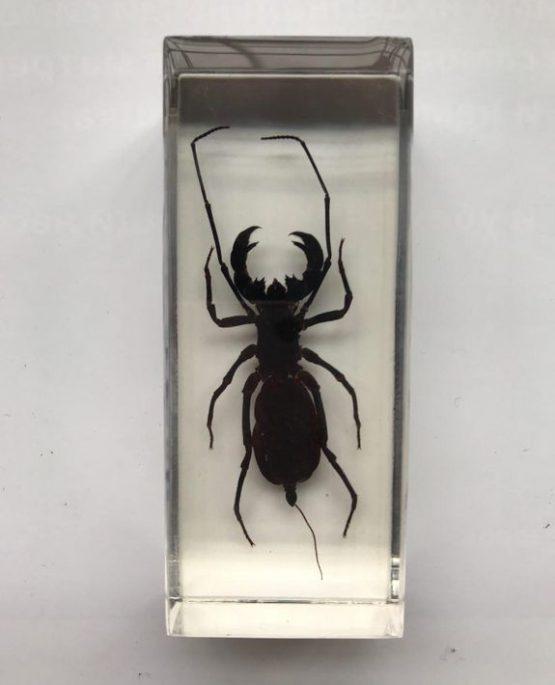 Телифон хвостатый Telyphonus caudatus