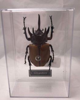 Вьетнамский жук-носорог Eupatorus gracilicornis