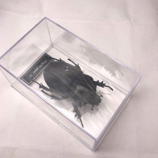 Гигантский жук-носорог Oryctes gigas