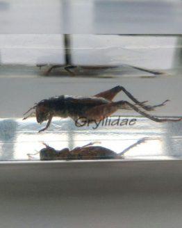 Сверчок настоящий Gryllidae