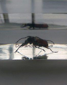 Дикраноцефал Dicranocephalus
