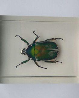 Бронзовка Protaetia sp