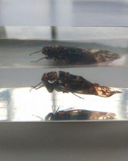 Индостанская цикада Platypleura