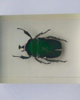 Изумрудный жук Trigonophorus sp