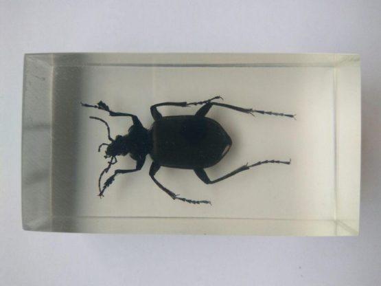 Красотел Calosoma sp