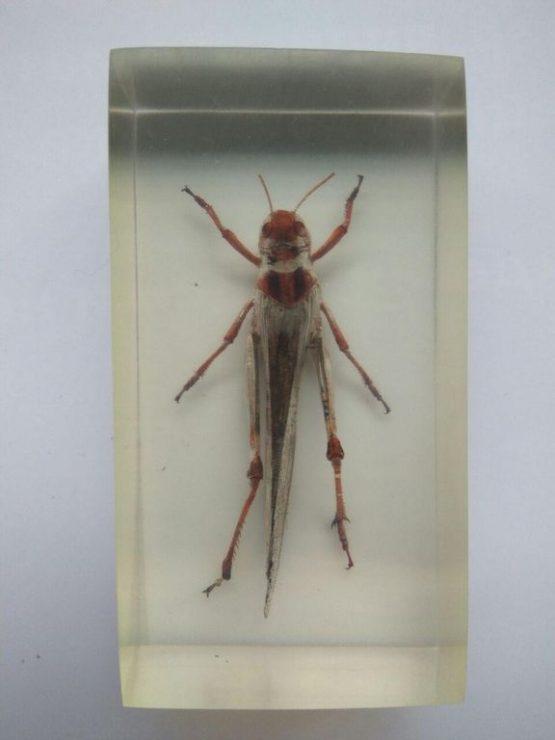 Саранча перелетная Locusta migratoria