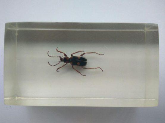 Жук-скакун Cicindelidae