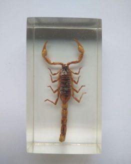 Манчжурский золотой скорпион Mesobuthus martensi