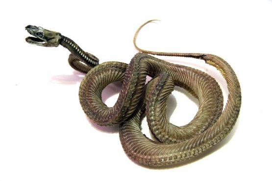 Мумия змеи в позе нападения