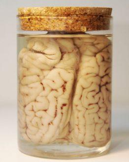 Анатомический препарат — Мозг быка (Bos taurus taurus)