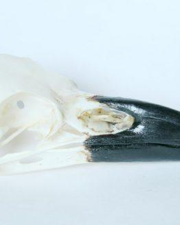 Череп ворона (Corvus corax)