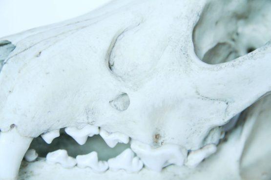 Череп волка (Canis lupus) с заросшей травмой от копыта