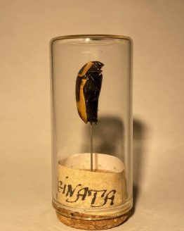 Жук бронзовка Pahonda Marginata под стеклом
